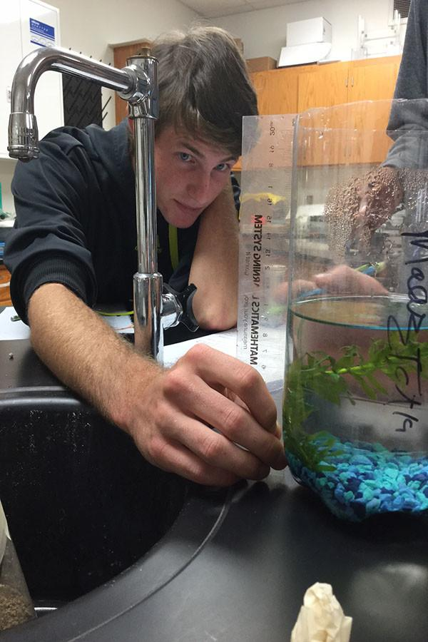 To collect data for his eco-column fish tank, Senior Jake Schrass measures his fish's food supply, the sea plant.